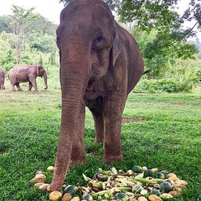 Pang Fai : Elephant of the Week at BLES : Light