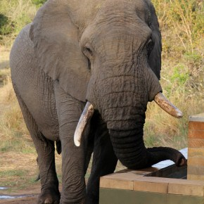 "The Greatest Close Encounter With Elephants Ever, Caught on Video : ""Three Thirsty Elephants"" Sipping at the Lodge Pool"