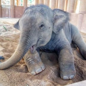 Video Moment : Rescued Baby Elephant Squeals With Delight as He Meets His New Elephant Family at Elephant Nature Park