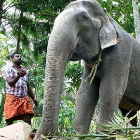 RIP Granny :  Oldest Elephant in Captivity at Temple in Kerala, India Passes Away, Still in Chains, at Age 88