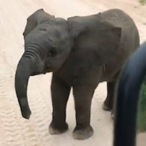 Magical Video Moment: Tourists on Safari in South Africa Are Enchanted By Adorable Baby Elephant Enticing Them to Play