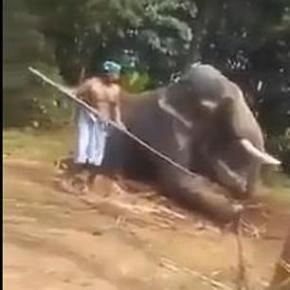 Caught on Video: Elephant Charity VFAES Intervenes Saving Former Temple Elephant From More Brutal Beatings by Mahouts in Kerala, India