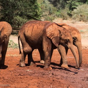 LUGGARD : Elephant of the Week at the DSWT : Too Cute : Part 2