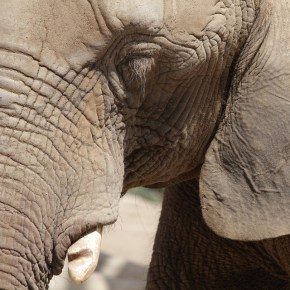 """""""Why elephants never forget"""" :  Learn About Elephant Intelligence & Memory from a Fun Animated Video"""
