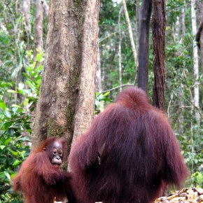 Photo Essay : Deforestation For Palm Oil Plantations in Indonesia Not Only Destructive to Elephants;  Orangutans Suffer Loss of Their Lives & Their Habitat As Well