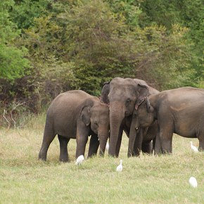Increased Protection Promised For Sri Lankan Elephants But It Comes Too Late For the Seven Poisoned Due to Human Elephant Conflict