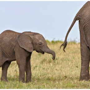 Video Moment : Exhausted Baby Elephant Struggles To Survive  The Long Walk Home   BBC Earth  Part 4