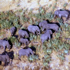 Why Are Our Elephants Dying in Botswana? :  Mystery Remains as Hundreds of African Elephants Found Dead in Botswana : The Inquiry Begins