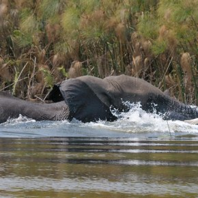 Why Are Our Elephants Dying in Botswana? : The Inquiry Continues, What We Know So Far