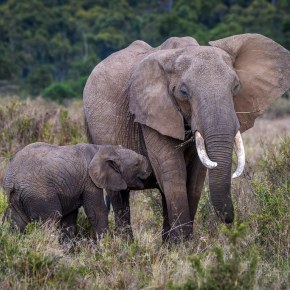 Baby, Baby! : 2020, A Wondrous Year for African Elephant Births in Amboseli