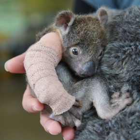 Newly Orphaned Rescued Baby Koala Treated for Her Broken Arm And Comforted With Teddy Bear