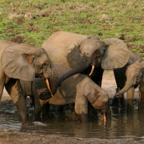 African Forest Elephants Are Now Classified as 'Critically Endangered' as the African Savanna Elephant Hits the IUCN Red List as 'Endangered'  Among  Many Threatened Species of Wildlife