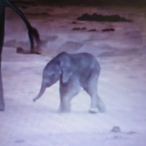 Video Moment : Drowning Baby Elephant Rescued By Her Quick Thinking Mama  &  Auntie Elephants