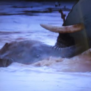 Video Moment: Three Baby Elephants Are Carried Away Downstream From Their Mothers as Elephant Family Struggles Against Strong River Current in Africa