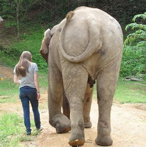 Pang Dow: Elephant of the Week at Boon Lott's Elephant Sanctuary – BLES: Lucky Star: Part 2