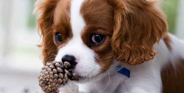 membre cavalier king charles