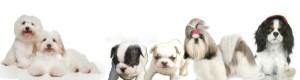elevage chiens et  chiot