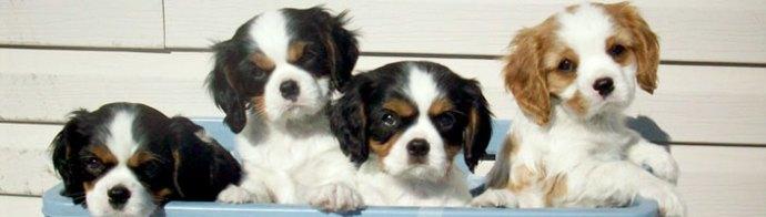 élevage de chiens cavalier king charles