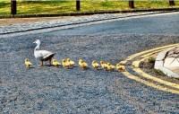 Evangelio apc Familia patos portada