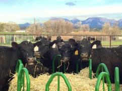 Synchronized cows, waiting to be bred. -Cedar Mesa