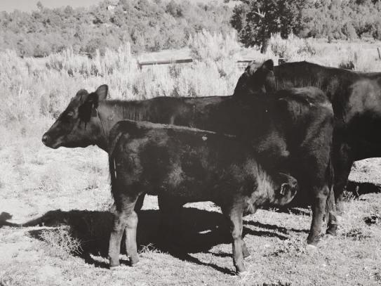 Nothing beats a good growing calf. -Schmitt Angus