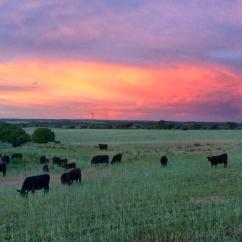 A spectacular sunset while the Cedar Mesa cow herd happily munches away summer days!