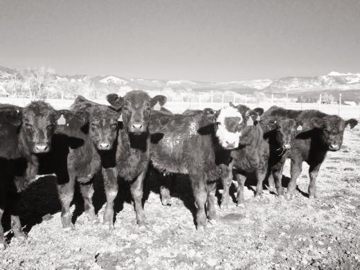 An impressive calf crop sired by Cedar Mesa bulls.