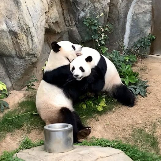 Two pandas hugging - Zoos and aquariums