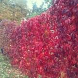 autumn walk and wild wine