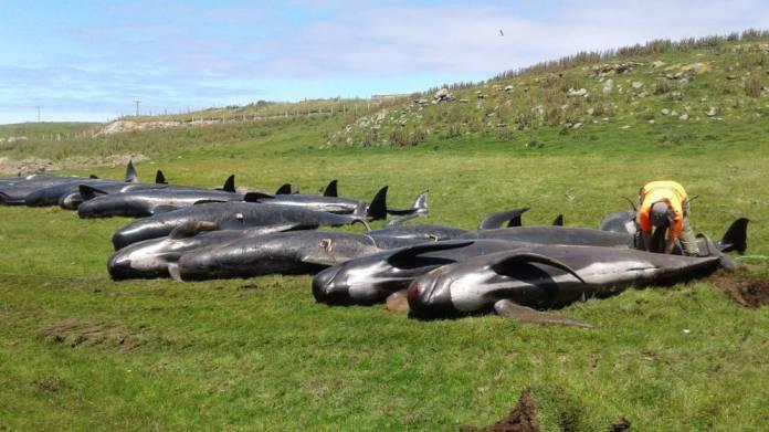 Aparecen 50 ballenas varadas en las costas de Nueva Zelanda por segunda vez en una semana