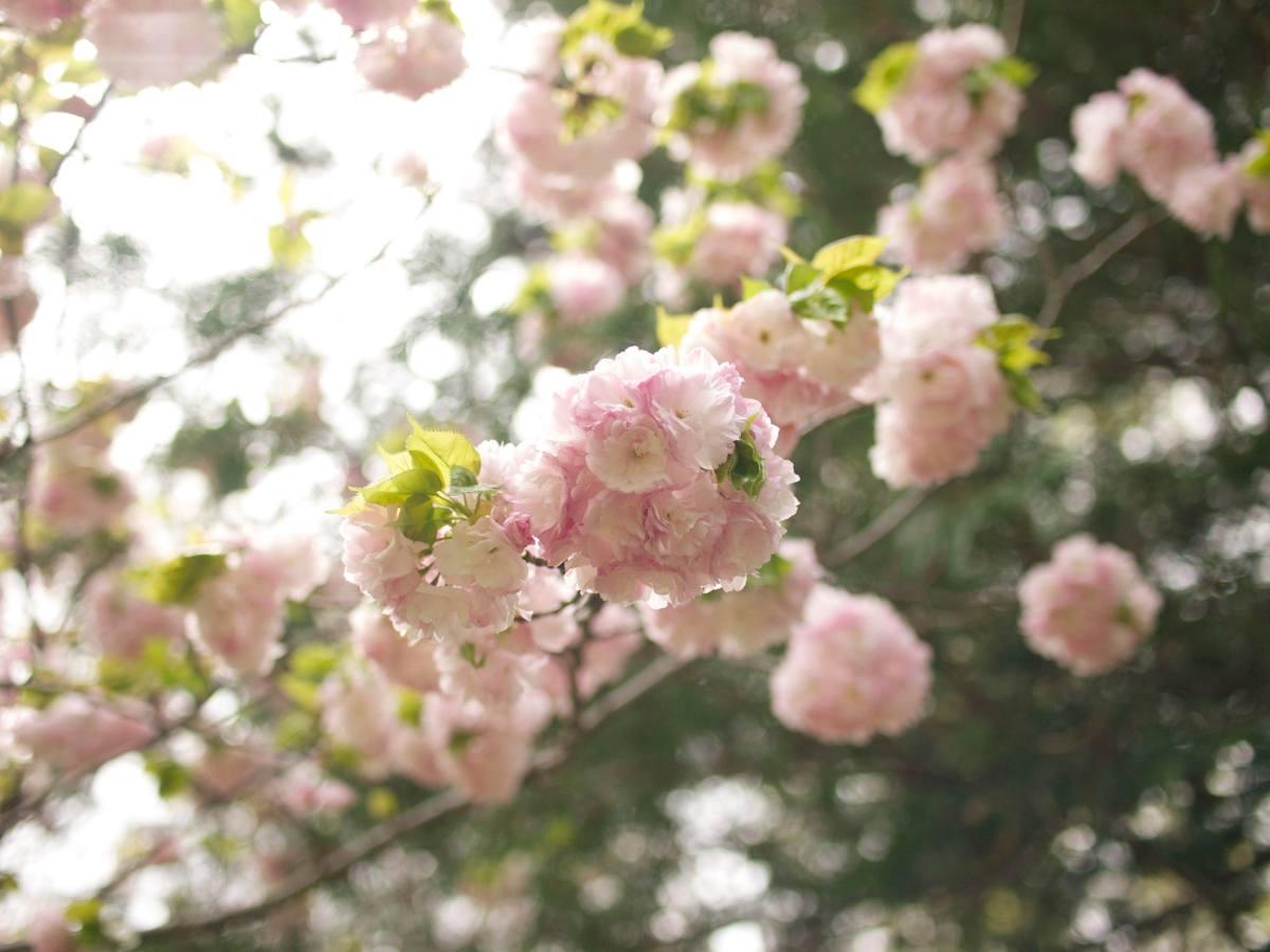 楊貴妃桜とサギ