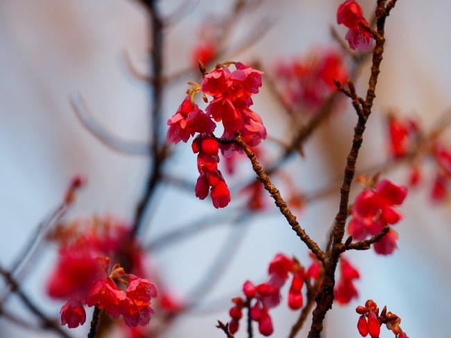 桜咲く、大寒桜9