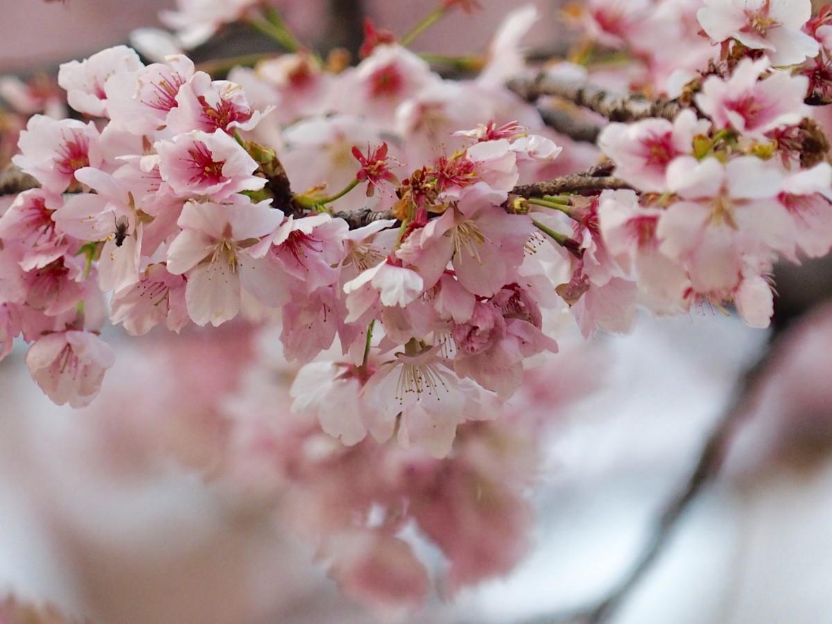 桜咲く、大寒桜と寒緋桜