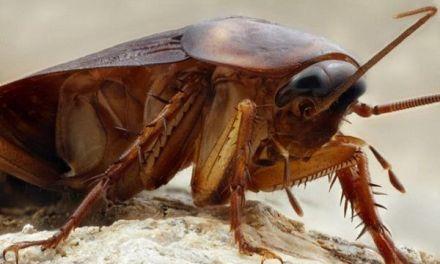 Las cucarachas Highlander: por qué son casi inmortales