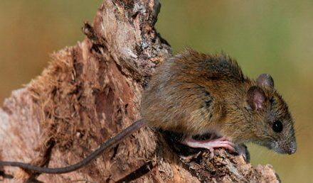 ¿Qué sabemos sobre los roedores involucrados en la transmisión del Hantavirus?