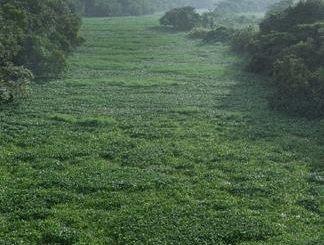 Seis kilómetros del Ozama y el Isabela están afectados por lilas