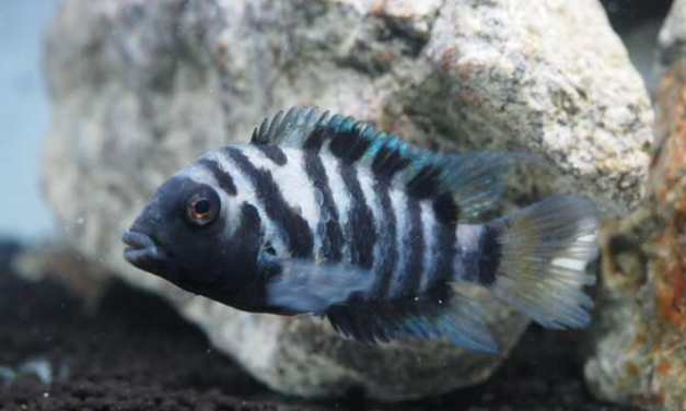 ¿Altruismo en peces?