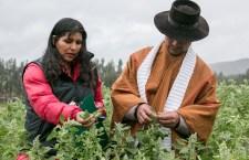 Ancestral grano de oro andino abre una oportunidad de desarrollo para las comunidades andinas