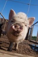Pig, Valle de Guadalupe, Baja California, Mexico