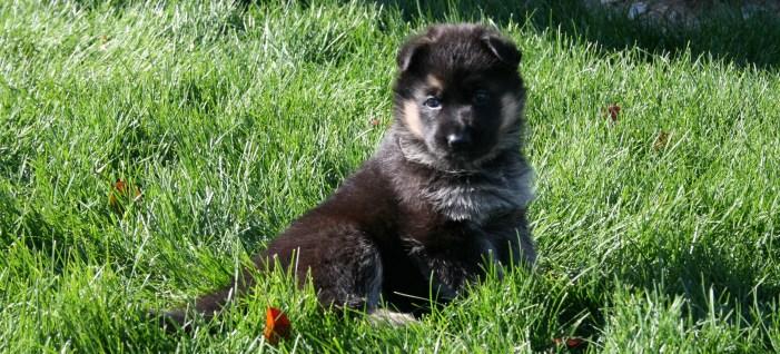 Cassie x Figo Puppy