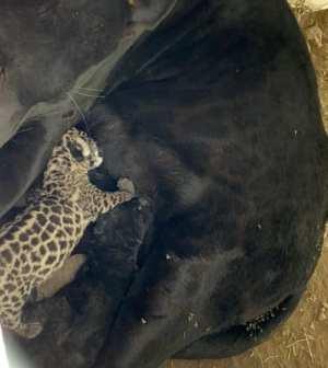 Nacen dos crías de jaguar en