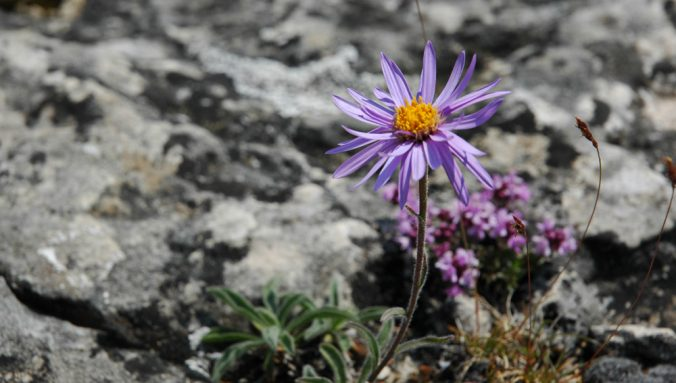 aster-alpes