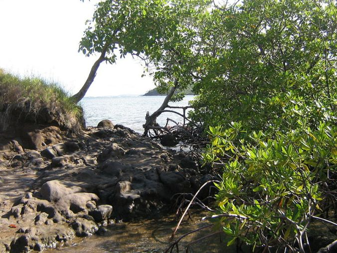800px-Mangrove-Dubuc Photo Jmp48