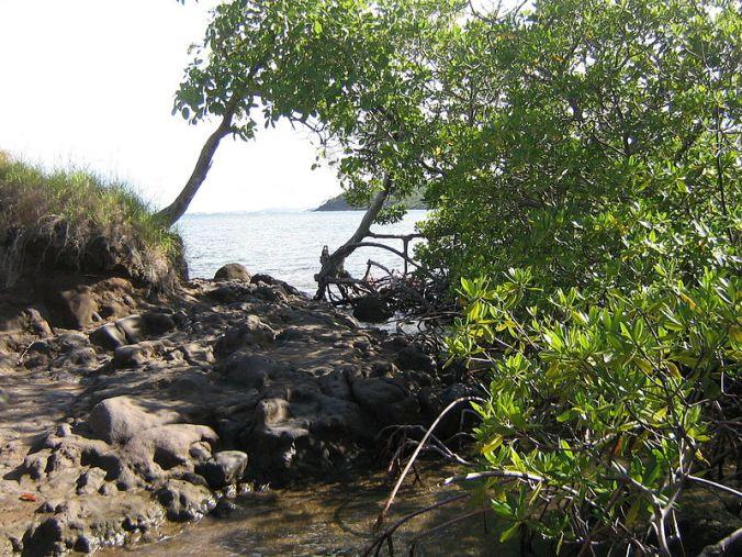 800px-Mangrove-Dubuc Photo Jmp48