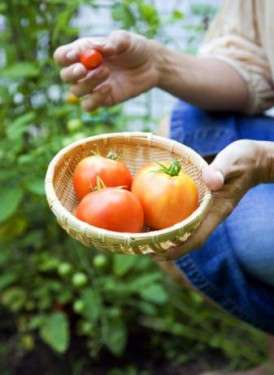 como sembrar tomate
