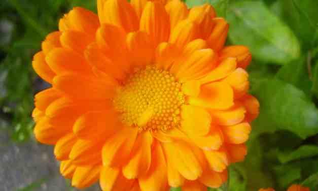 Caléndula: Beneficios y Propiedades Medicinales