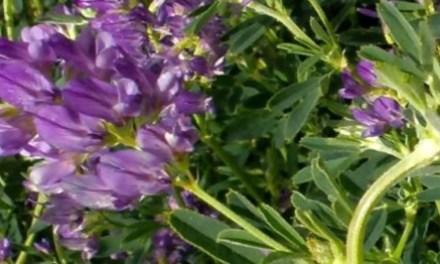 Alfalfa: Beneficios y Propiedades Medicinales