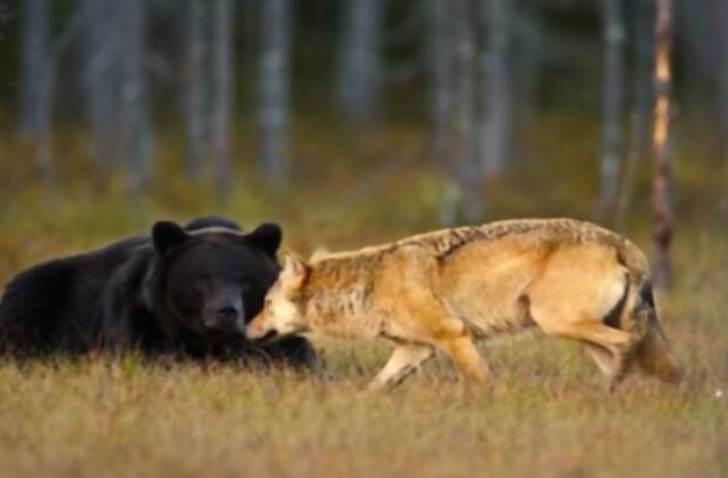 rare-animal-friendship-gray-wolf-brown-bear-lassi-rautiainen-finland-111
