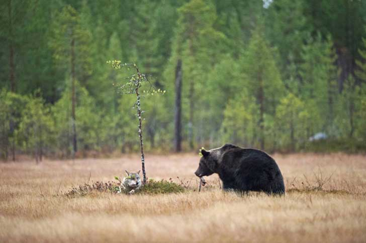 rare-animal-friendship-gray-wolf-brown-bear-lassi-rautiainen-finland-51