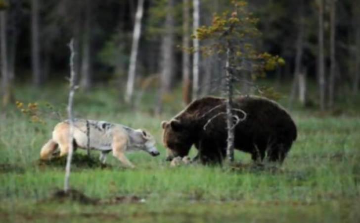 rare-animal-friendship-gray-wolf-brown-bear-lassi-rautiainen-finland-81